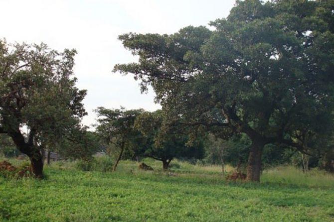 A 'parkland' landscape in Uganda
