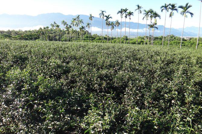 Eco-friendly tea farm