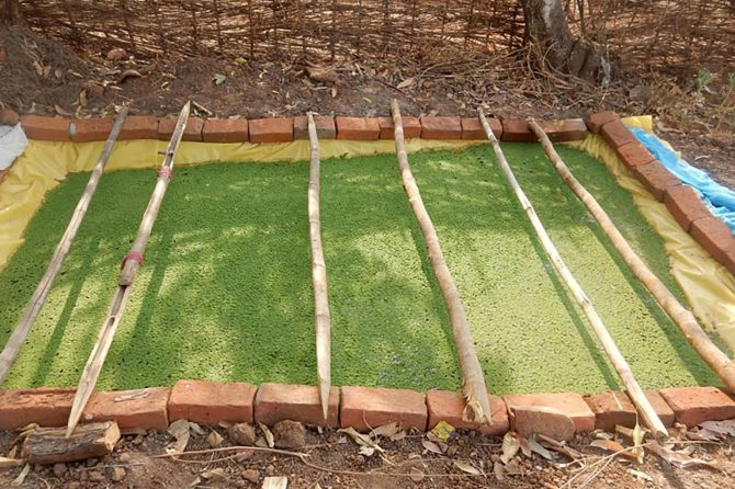 Construction of an Azolla Pit as a green fodder supplement for cattle feeding