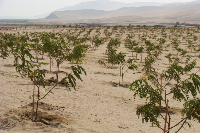 Tara plantation, 18 months. Photo J. Malleux 2015