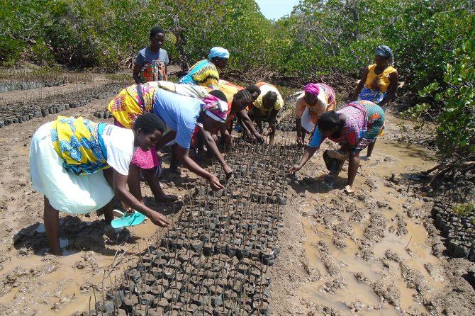 Women setting up a mangrove nursery