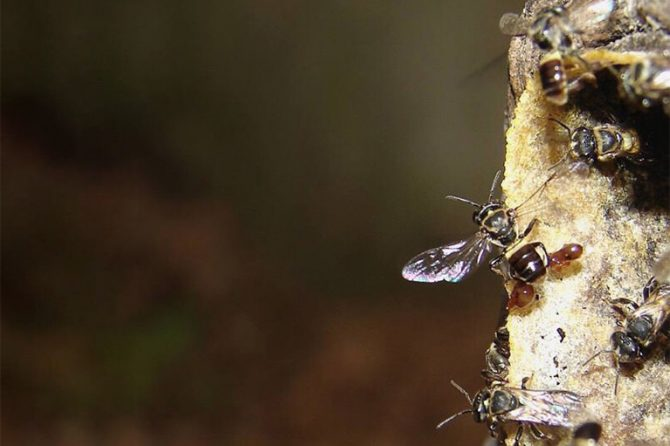 Stingless bee approaching beehive