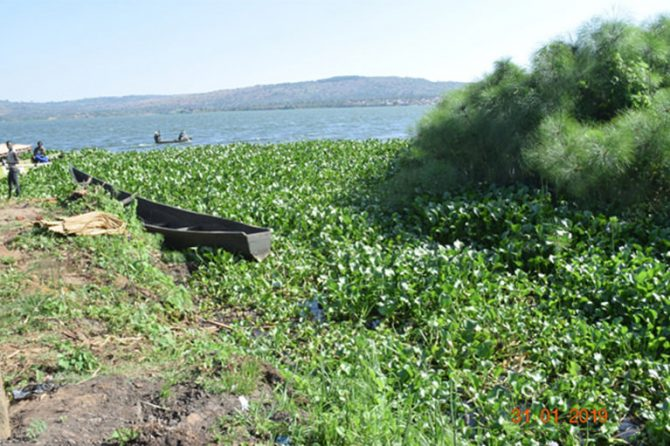 Rocko landing site: Water Hyacinth