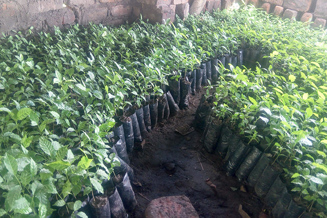 Tree seedlings prepared to plant in the project site