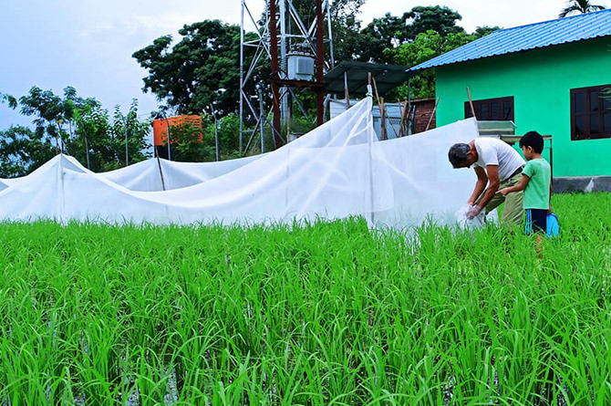 Releasing fish into paddy fields