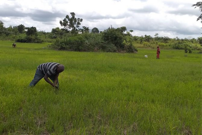 Manual control of weeds by local farmers replacing from the chemical use